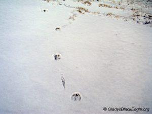 A deer walks in snow